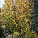 fall-maple